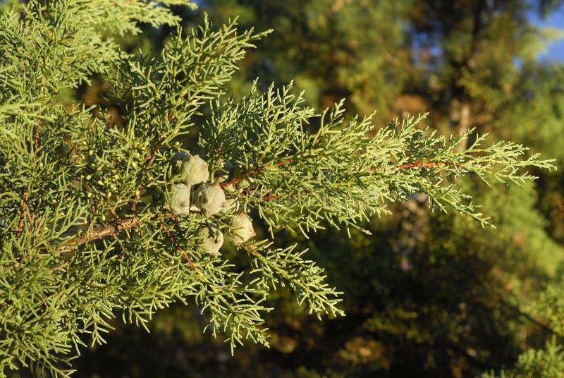 Cupressus arizonica, Allergen-Anlagen stockfotografie