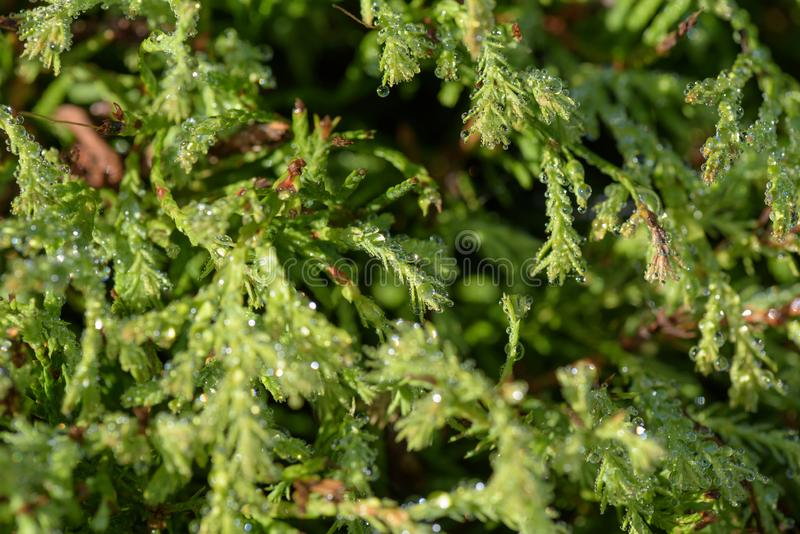 Cupressus plant with droplets of rain royalty free stock image