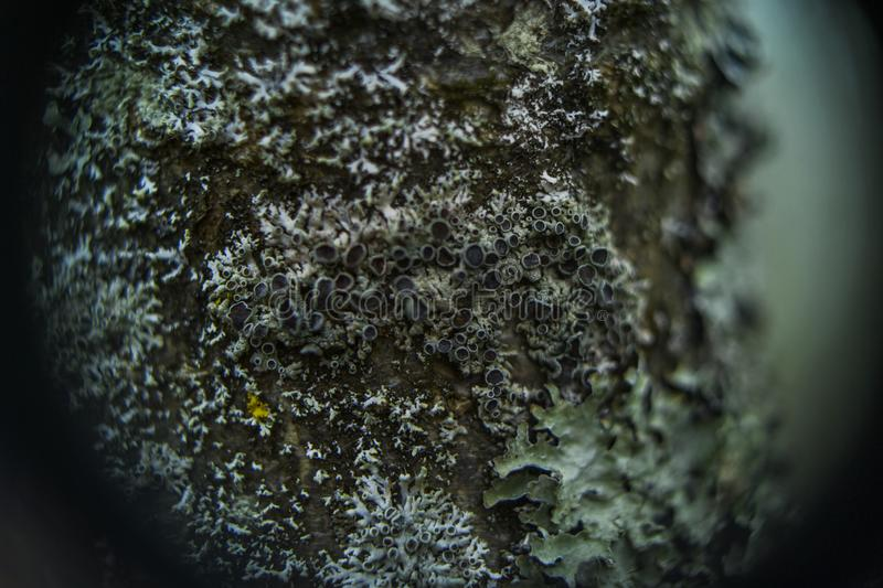 Cups of lichen and moss royalty free stock image