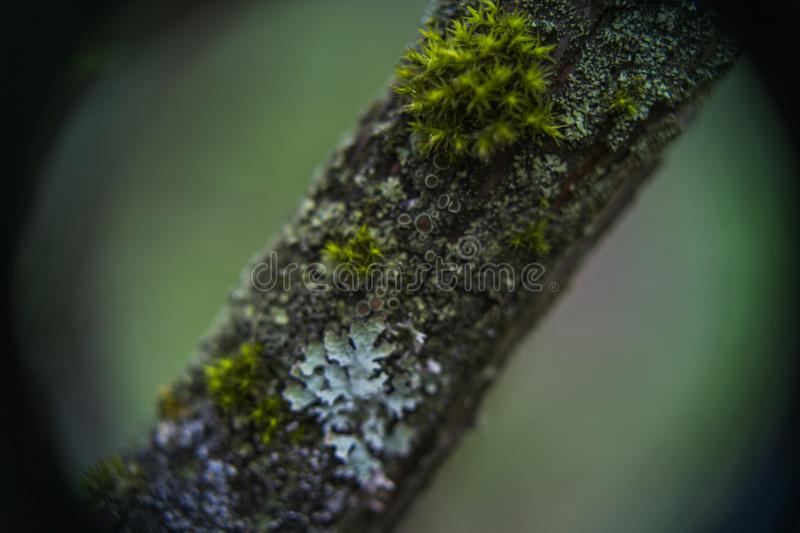 Cups of lichen and moss stock photo