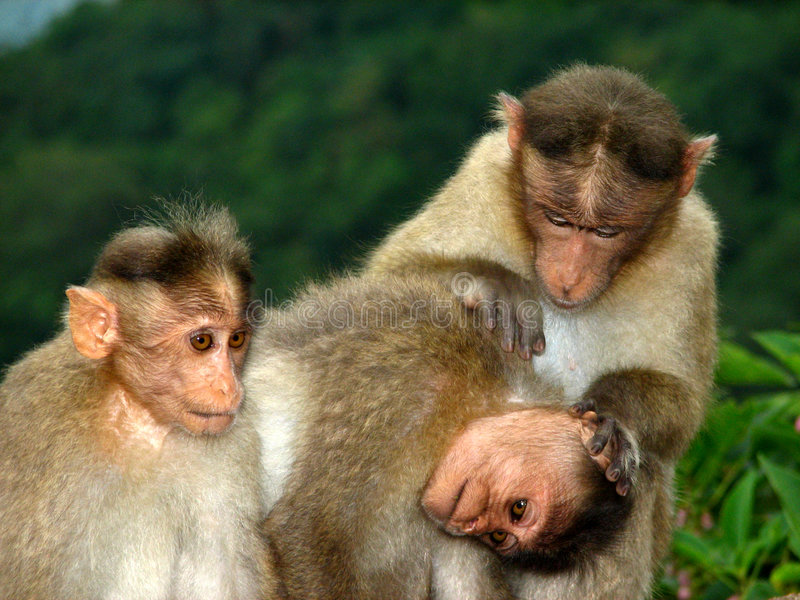 Cura della scimmia fotografia stock