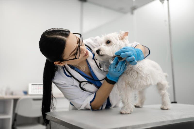 Cura di presa occupata di sensibilità femminile dai capelli lunghi del veterinario del cane sveglio immagine stock libera da diritti