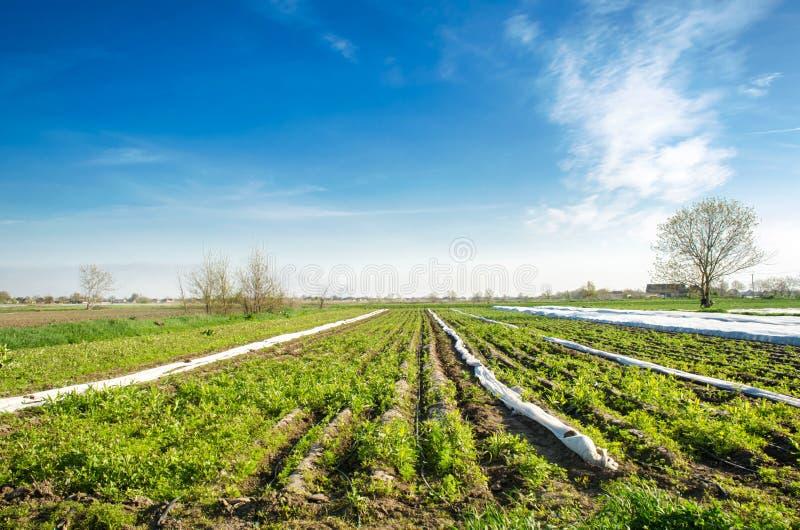 Cura impropria del raccolto Verdure crescenti Erbacce ed erba in piantagioni La giovane carota si sviluppa in erbacce Cattivo agr immagine stock