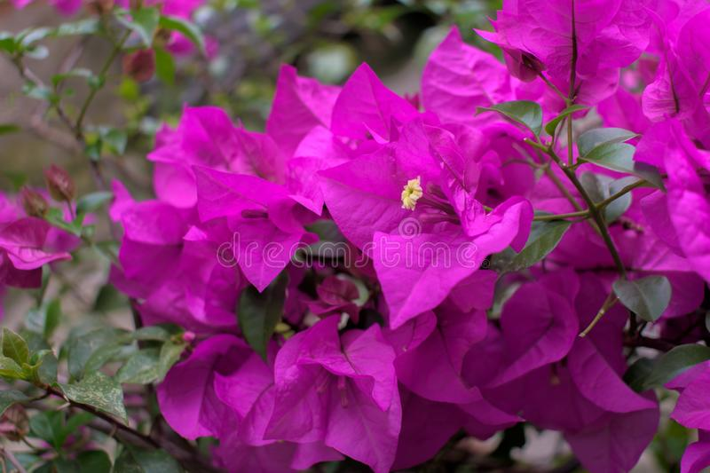 Curacao bougainvilleabrunch royalty-vrije stock foto