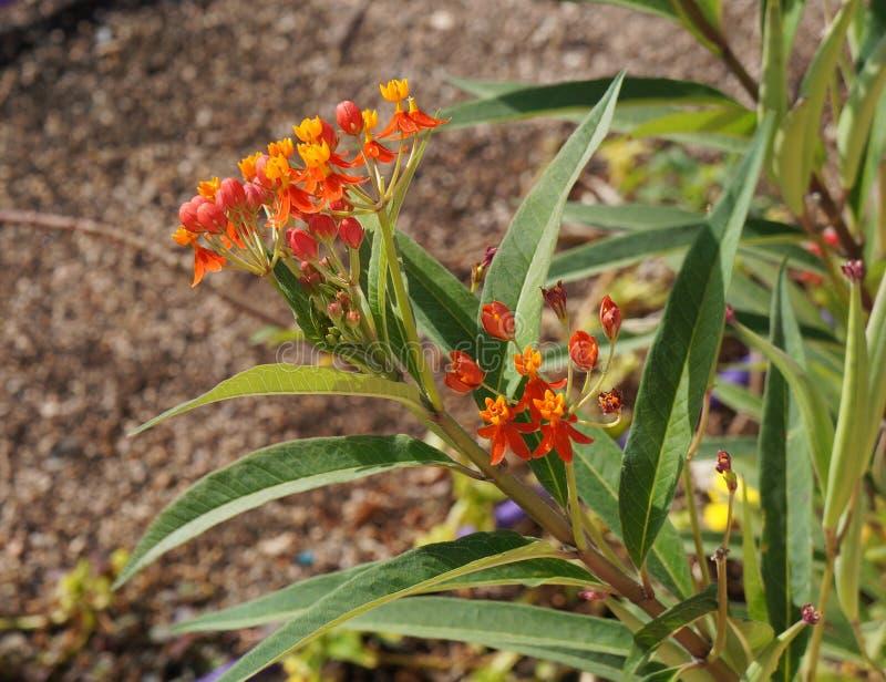 Curassavica Asclepias или тропический milkweed, селективный фокус на частично запачканном цветке, стоковое фото