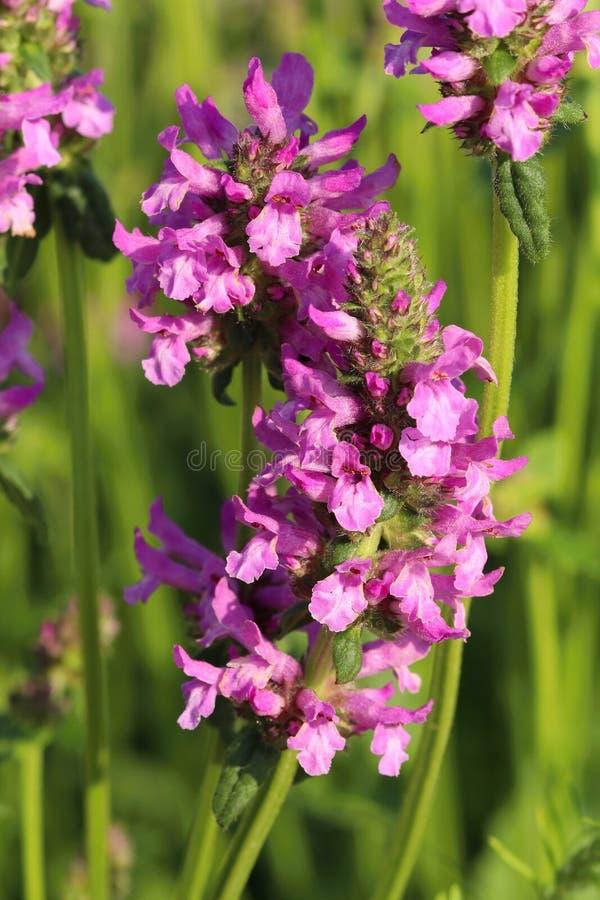 Curatieve Stachys-officinalis stock afbeelding