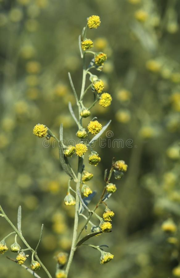 Curative Artemisia absinthium. In blossom royalty free stock photography