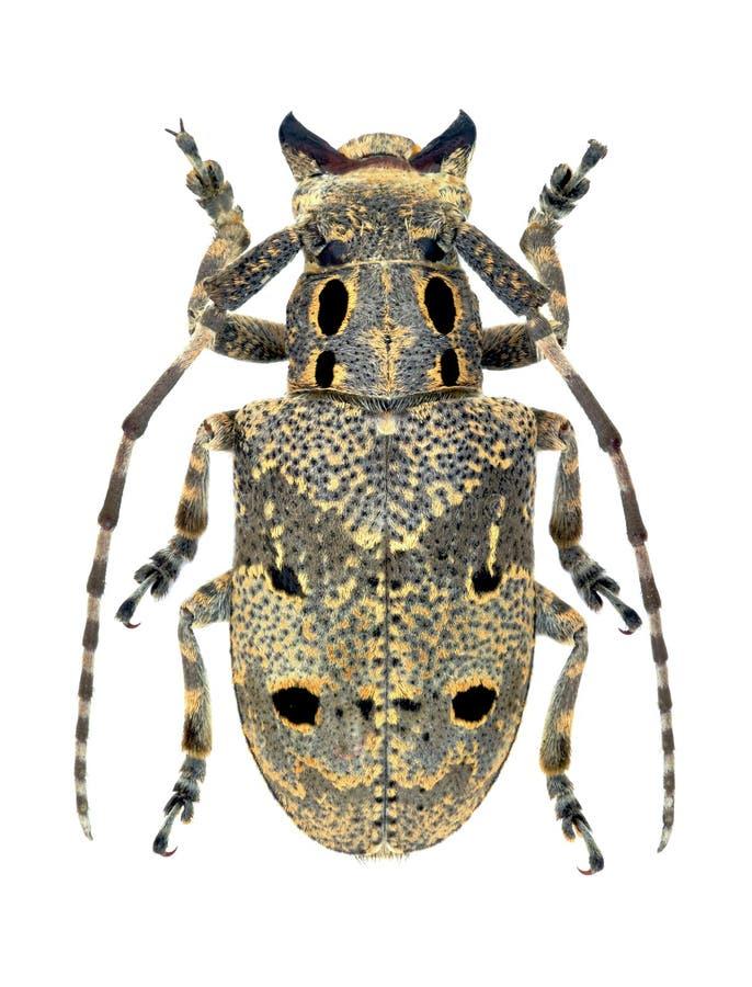 Curculionoides de Mesosa del escarabajo del Capricornio fotos de archivo