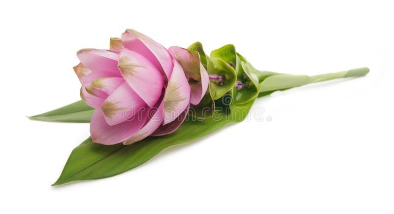Curcuma con il fiore fotografie stock libere da diritti