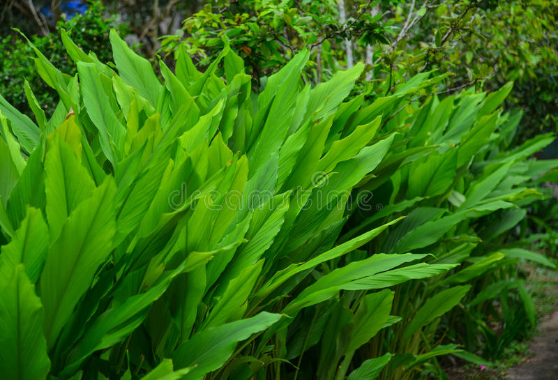 Curcuma longa plants at garden in Vietnam royalty free stock photos