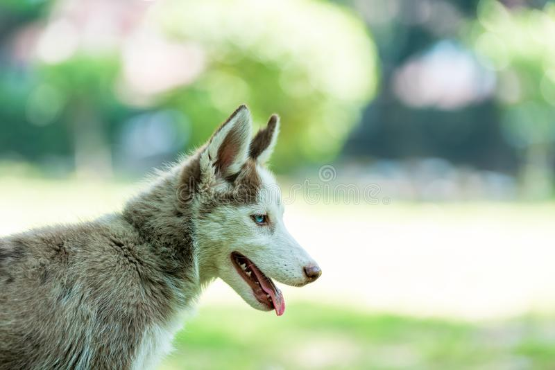 Cure Siberian Husky Puppy with tonuge hanging. Beautiful blue eyed female Siberian husky puppy looking down with tongue hanging in isolated background stock image