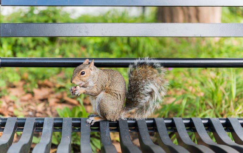 ?cureuil dans Central Park photos libres de droits