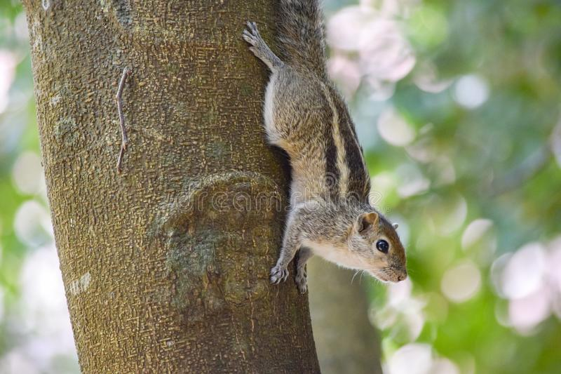 ?cureuil sur le tronc d'arbre image libre de droits