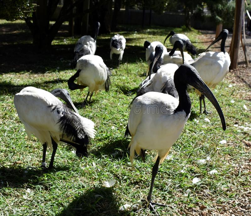 Curiacas στο πάρκο ζωολογικών κήπων, MG Poços Caldas, Βραζιλία στοκ εικόνα