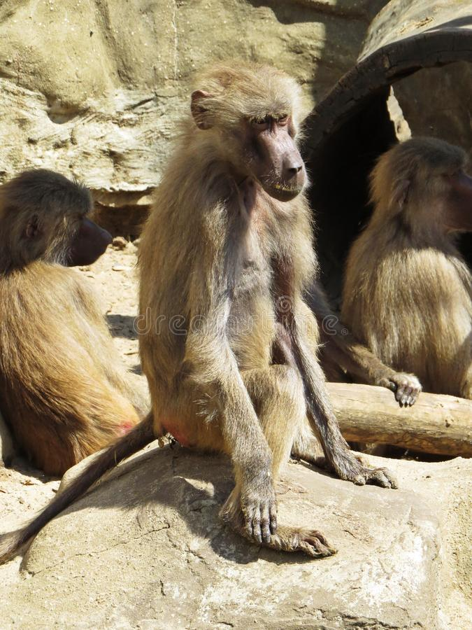 Curios Nice Detail Picture of Macaques Monkeys Apes on Stone Rock royalty free stock photo