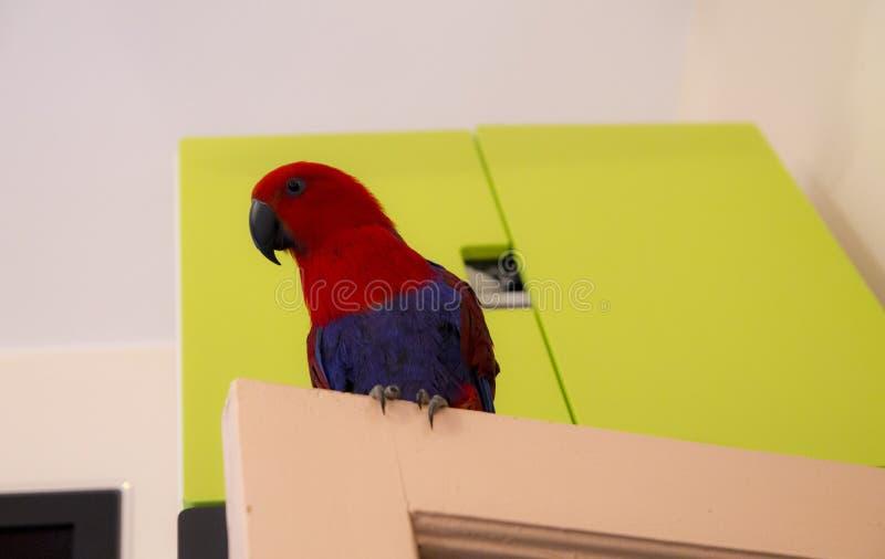 Curios papuzi obrazy stock
