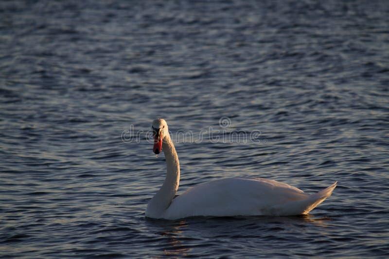 Curiosidade das cisnes foto de stock royalty free