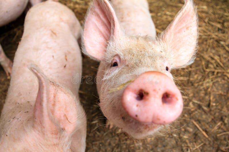 Curiosità del maiale fotografie stock