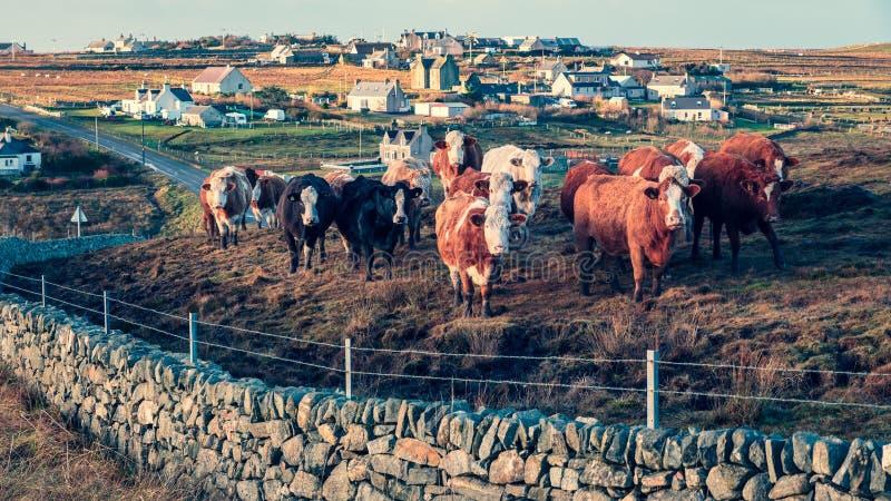 Curiosità, un gregge delle mucche scozzesi immagine stock