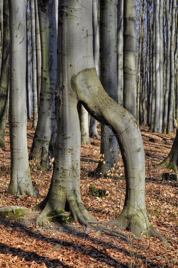 Curiosity beech. Curiosity tree in spring beech forest stock photography