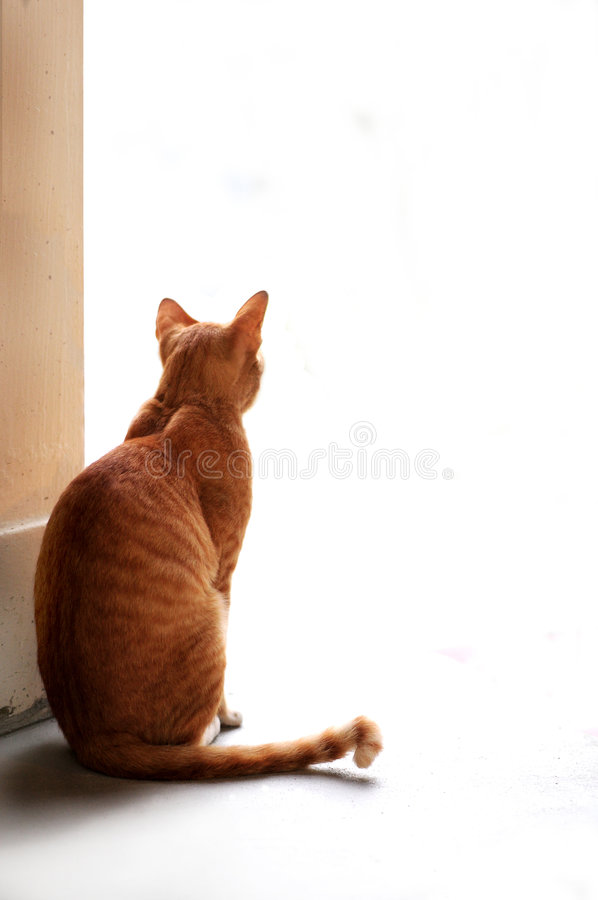 Curiosity and the cat. A cat and its curiosity, staring into blank space stock photography