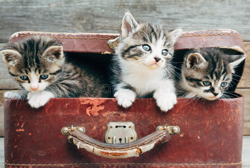 Curiosity kittens in suitcase royalty free stock images