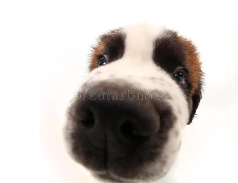Curiosity of a Saint Bernard Puppy. Nosy Sniffing Saint Bernard Puppy on White Background With Distorted Features stock images