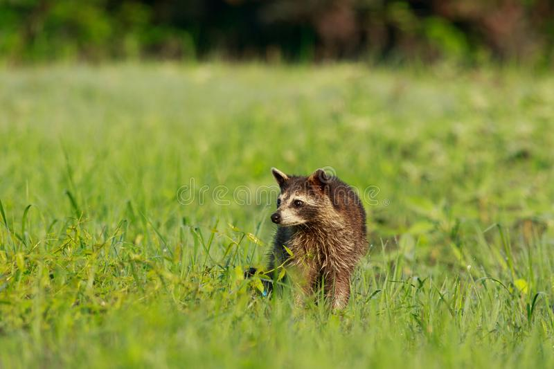 Curiosity. On some days you get lucky and the animals just come to you!! We was walking through Bald Knob Wildlife Refuge and along came a family of raccoons stock images