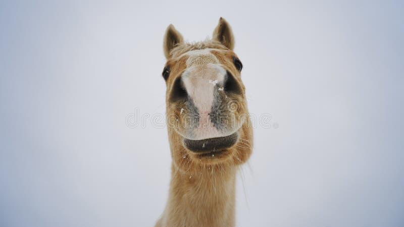 Curioso como um cavalo fotos de stock royalty free