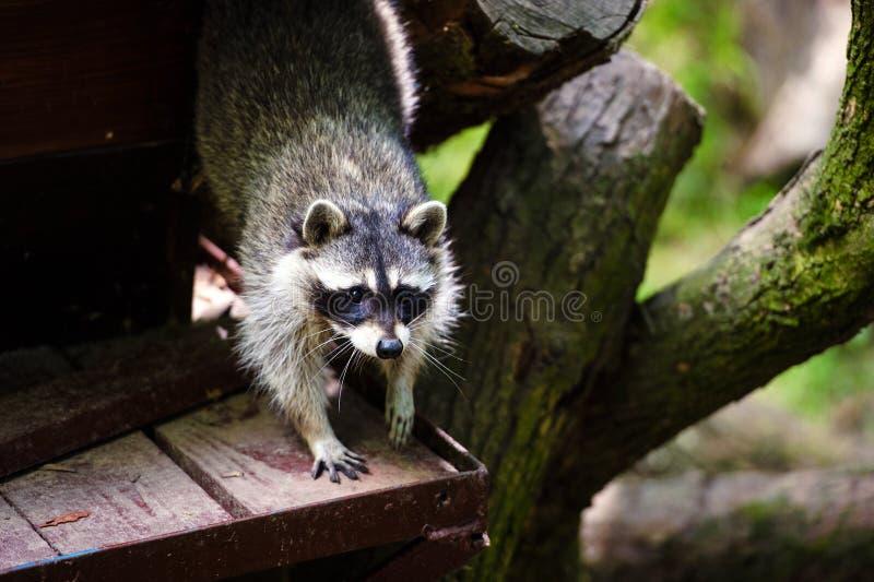 Curioso Raccoon & x28;Procyon lotor& x29;, também conhecido como o raccoon norte-americano fotografia de stock