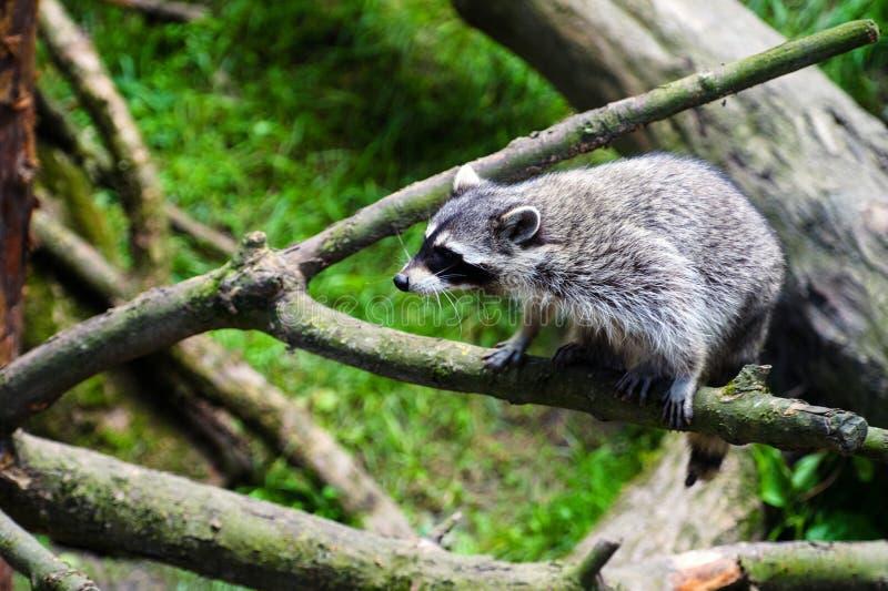 Curioso Raccoon & x28;Procyon lotor& x29;, também conhecido como o raccoon norte-americano foto de stock royalty free