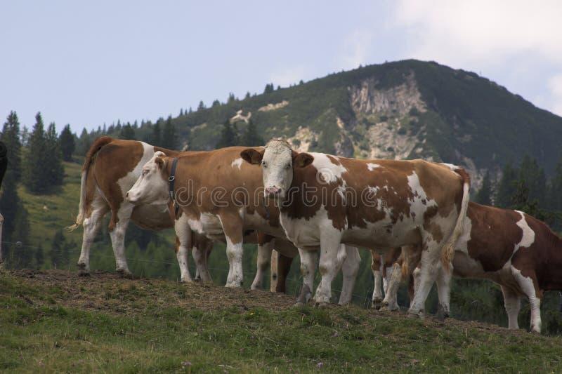Curiour Kühe lizenzfreie stockfotos
