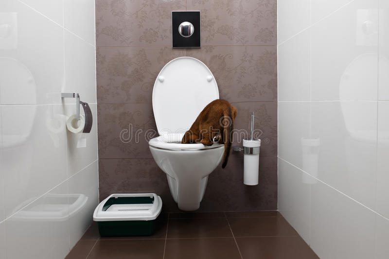 Curious Abyssinian Cat Looking in toilet Bowl royalty free stock photography