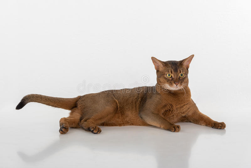 Curious Abyssinian cat lying on ground, long tail. Isolated on white background stock photo