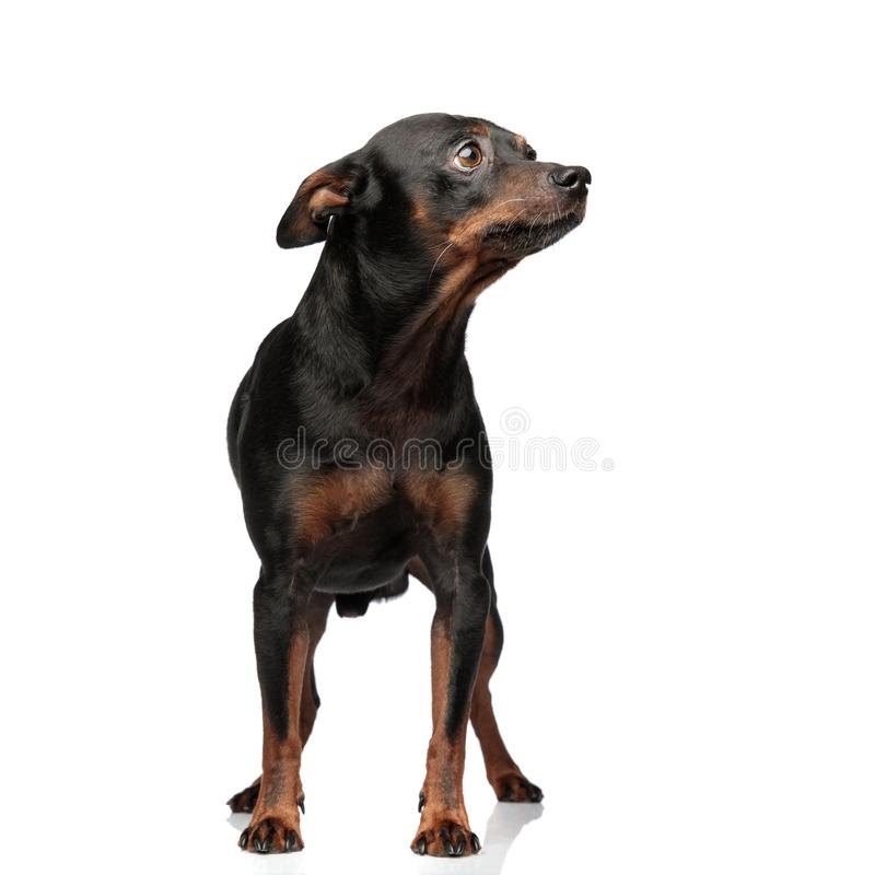Curious adorable puppy standing, looking at a side stock photography