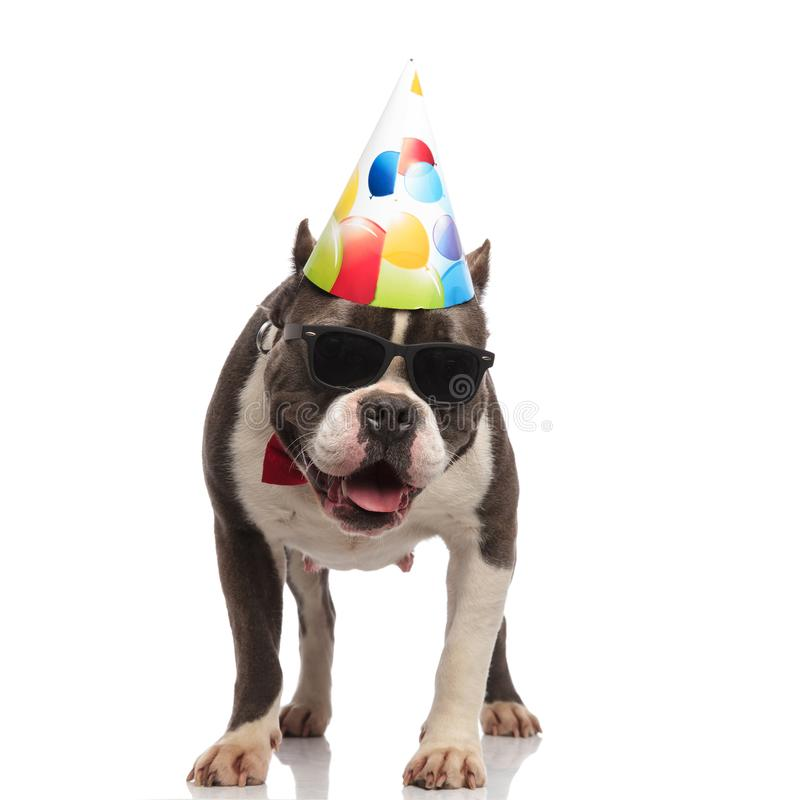 Curious american bully wearing birthday hat and sunglasses looks down. While standing on white background and panting royalty free stock photo
