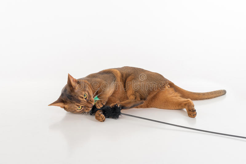 Curious and Angry Abyssinian cat lying on the ground and playing with toy. Isolated on white background.  royalty free stock photos