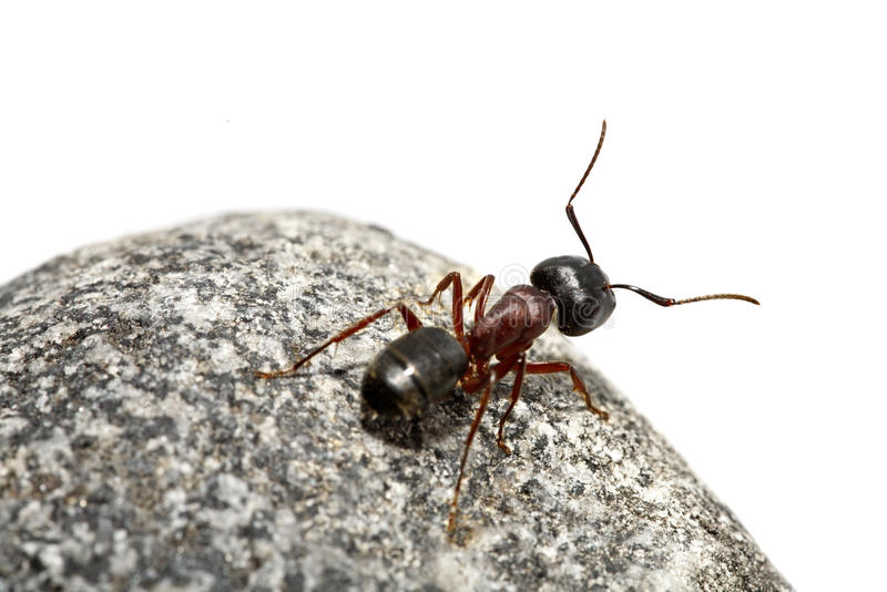 Download Curious ant stock image. Image of insect, side, nature - 16840787