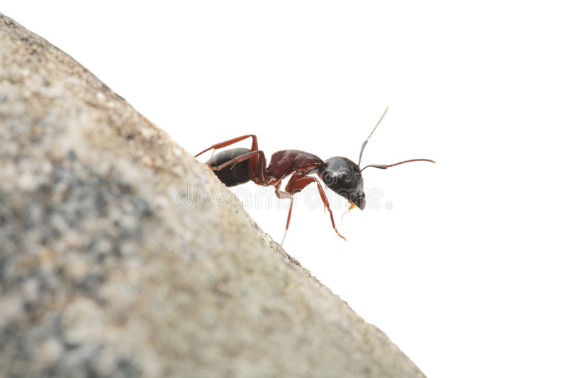 Download Curious Ant stock photo. Image of fauna, rock, nobody - 8566054