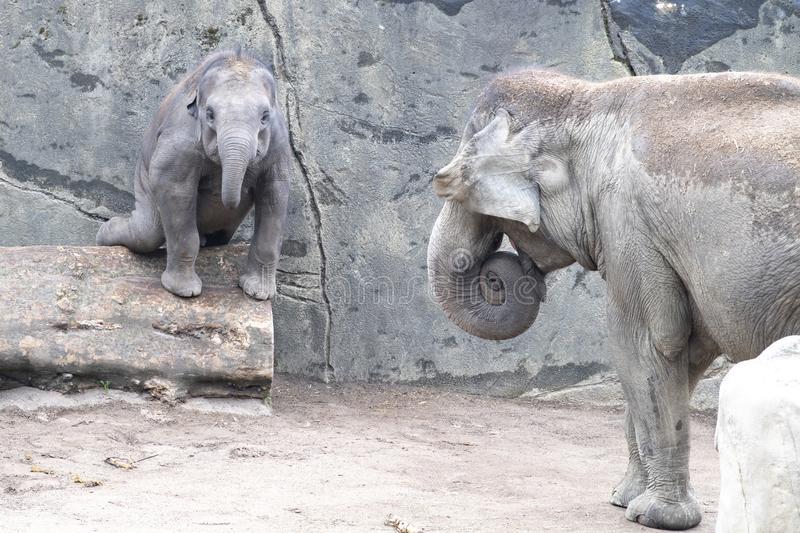 Elephant baby in danger by balancing over trunk. Zoo Cologne, Germany stock photos