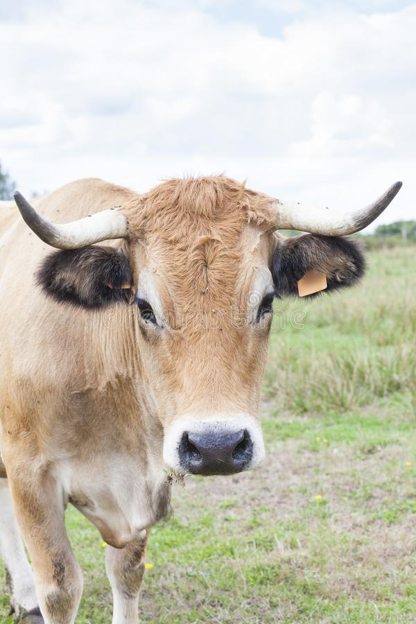 Curious Aubrac beef cow in a summer pasture on a cloudy day royalty free stock images