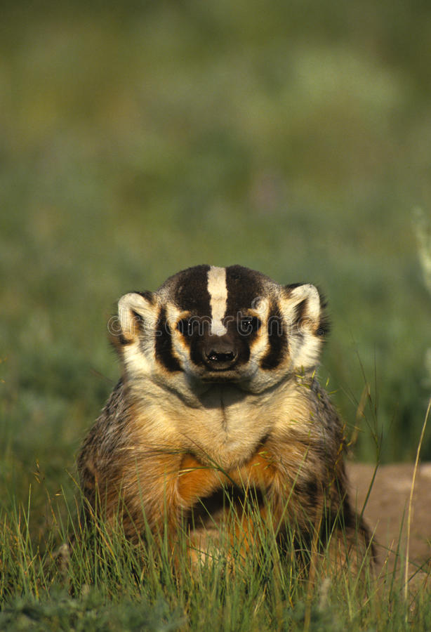 Curious Badger