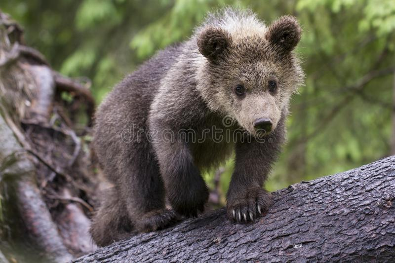 Curious bear cub looking at camera close stock photo