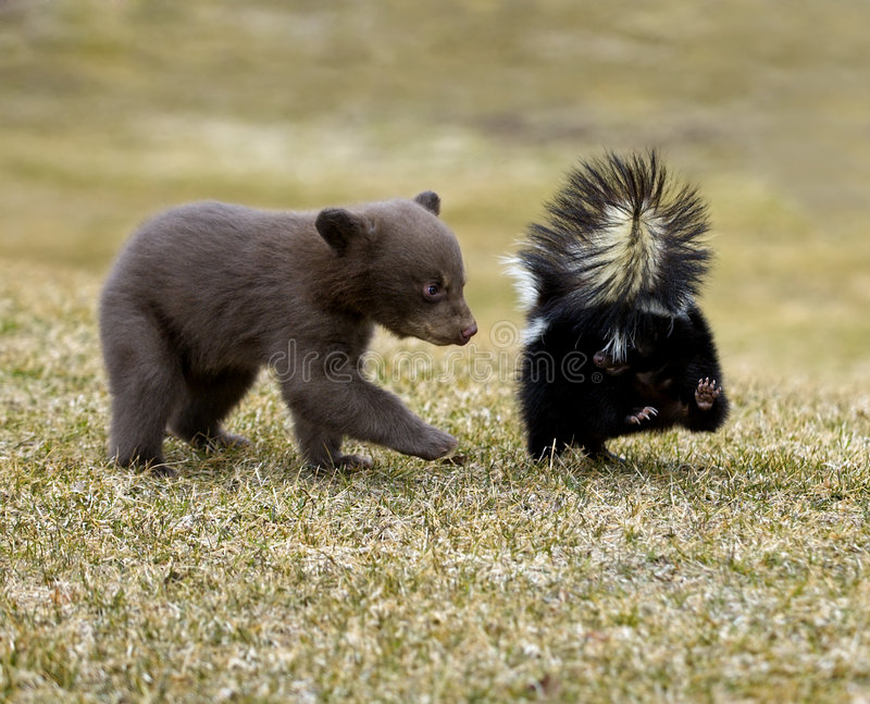 Curious Black Bear (Ursus americanus) and Striped Skunk stock photo