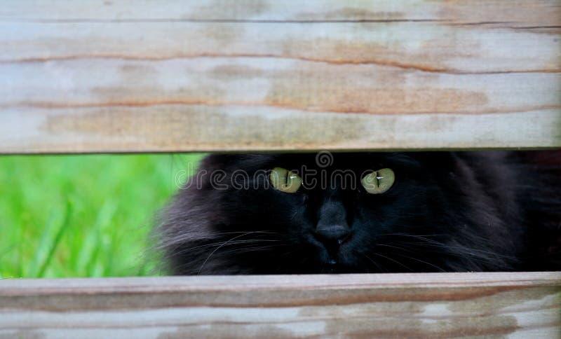 Norwegian forest cat female peeking royalty free stock photography