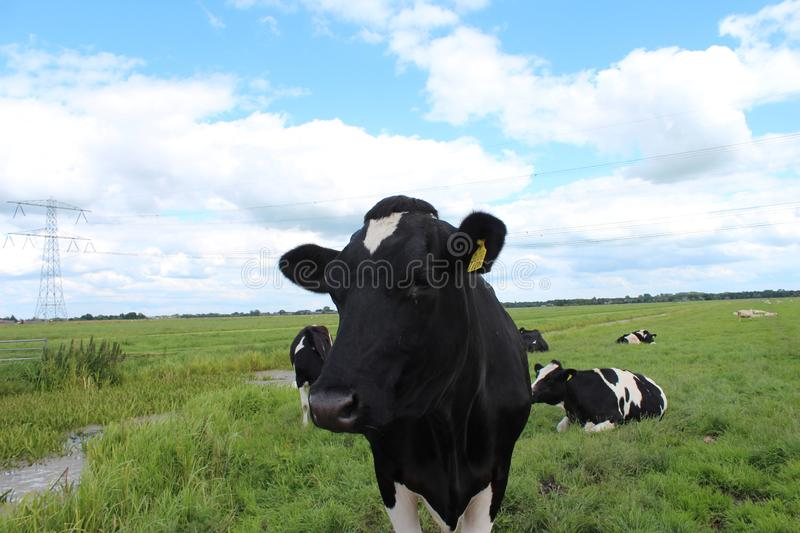 Curious black or red white frysian cows and bull on the green meadows of the Krimpenerwaard. In the Netherlands royalty free stock photography
