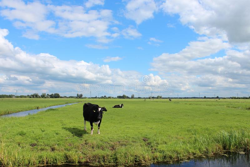 Curious black or red white frysian cows and bull on the green meadows of the Krimpenerwaard royalty free stock image