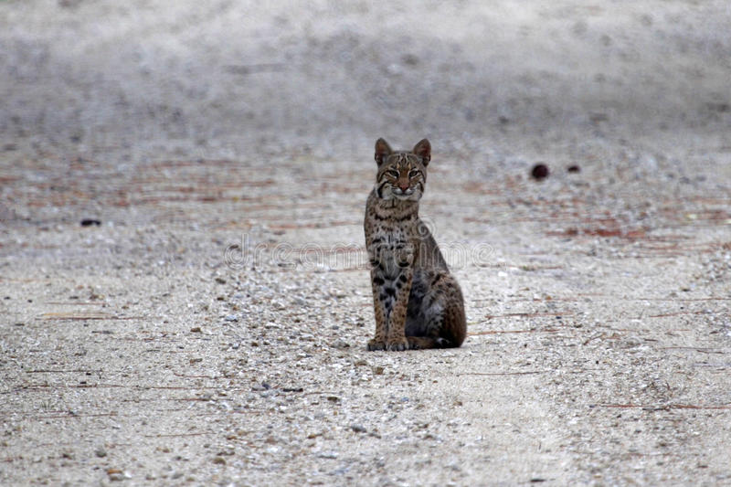 Curious Bobcat In The Everglades Stock Images
