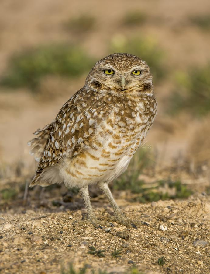 Burrowing Owl in New Mexico Prairie royalty free stock images