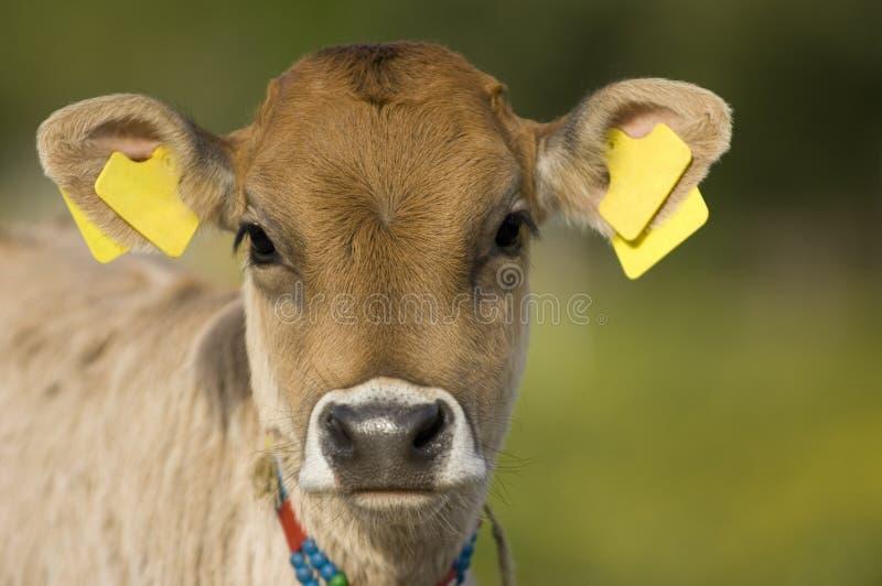 Curious calf stock photo